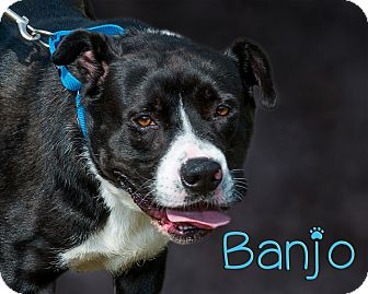 Labrador Retriever Mix Dog for adoption in Somerset, Pennsylvania - Banjo