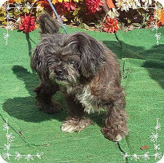 Shih Tzu Mix Dog for adoption in Marietta, Georgia - PRINCESS