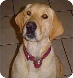 Labrador Retriever Dog for adoption in Provo, Utah - Nala