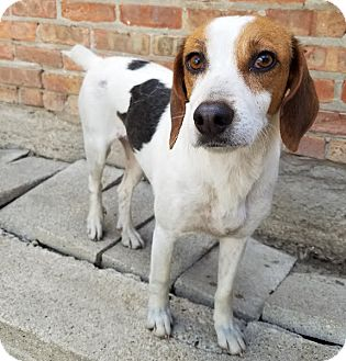 Beagle/Spaniel (Unknown Type) Mix Dog for adoption in Chicago, Illinois - Dalia*ADOPTED!*