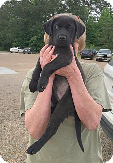 Labrador Retriever Mix Puppy for adoption in Groton, Massachusetts - Noah