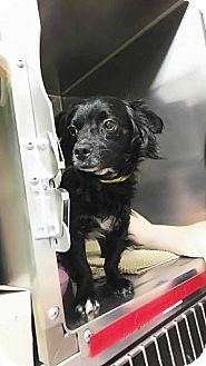 Chihuahua/Spaniel (Unknown Type) Mix Dog for adoption in Fullerton, California - ET