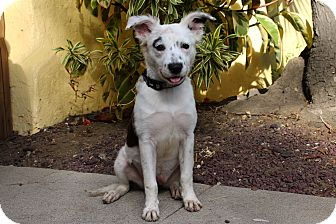 Spaniel (Unknown Type)/Cattle Dog Mix Puppy for adoption in Los Angeles, California - Edna - Cat Friendly
