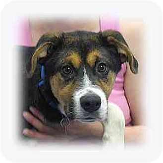 Greater Swiss Mountain Dog/Bernese Mountain Dog Mix Puppy for adoption in Huntley, Illinois - Ace