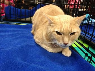 Domestic Shorthair Cat for adoption in Ephrata, Pennsylvania - Chester