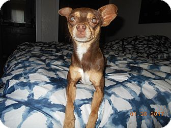 Chihuahua/Miniature Pinscher Mix Dog for adoption in haslet, Texas - hershey