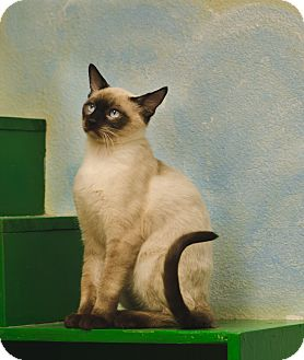 Siamese Cat for adoption in Poteau, Oklahoma - GAMBLER