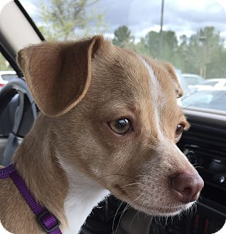 Chihuahua Mix Dog for adoption in San Marcos, California - Star