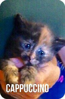 Domestic Shorthair Kitten for adoption in Glendale, Arizona - CAPPUCCINO