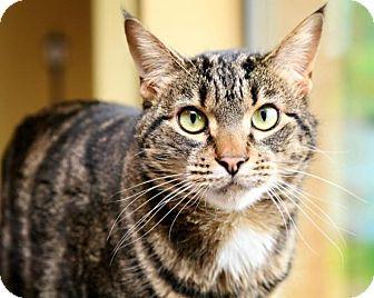 Domestic Shorthair Cat for adoption in Bellingham, Washington - Levi