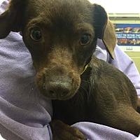 Dachshund Mix Dog for adoption in Huntington Beach, California - Eliana