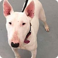Adopt A Pet :: Marley/BT - Hanover, PA