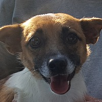 Jack Russell Terrier Mix Dog for adoption in Colonial Heights, Virginia - Jackie