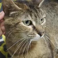 Domestic Shorthair/Domestic Shorthair Mix Cat for adoption in Potsdam, New York - Calla