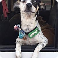 Adopt A Pet :: Spot - Flower Mound, TX
