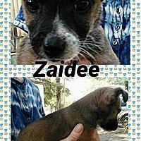 Adopt A Pet :: Zaidee - Ringwood, NJ