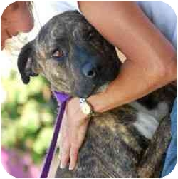 American Pit Bull Terrier Mix Dog for adoption in Berkeley, California - Gracie