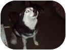 Siberian Husky Dog for adoption in Hollywood, Florida - SASHA