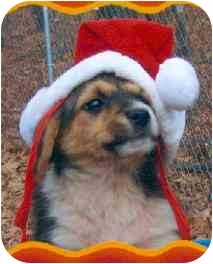 Australian Shepherd/Border Collie Mix Puppy for adoption in Tahlequah, Oklahoma - Puffy