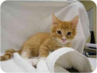 Domestic Shorthair Kitten for adoption in Modesto, California - Red