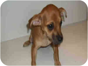 Chihuahua/Miniature Pinscher Mix Puppy for adoption in Las Vegas, Nevada - RUBYANNE