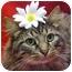 Photo 1 - Maine Coon Cat for adoption in Arlington, Virginia - Burgess