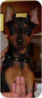 Miniature Pinscher Puppy for adoption in Port Jefferson Station, New York - Max