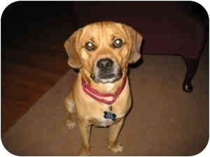 Pug/Beagle Mix Dog for adoption in Raritan, New Jersey - Lenny