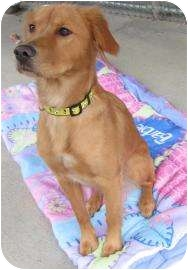 Golden Retriever Mix Dog for adoption in Jackson, Michigan - Lizzie