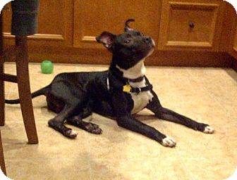 Boston Terrier/American Pit Bull Terrier Mix Dog for adoption in Vancouver, British Columbia - Rocky - Courtesy Post