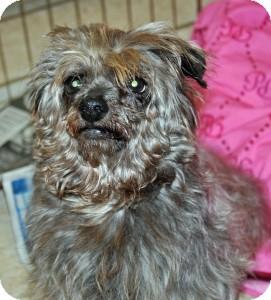 Yorkie, Yorkshire Terrier Mix Dog for adoption in Port Washington, New York - Princess