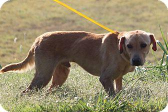 Labrador Retriever Mix Dog for adoption in McKinney, Texas - Columbus