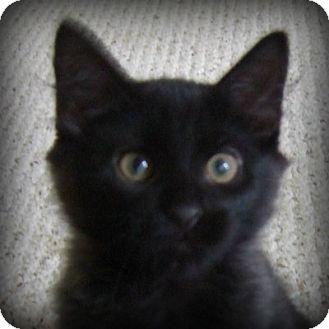 Domestic Mediumhair Kitten for adoption in Weatherford, Texas - Owl