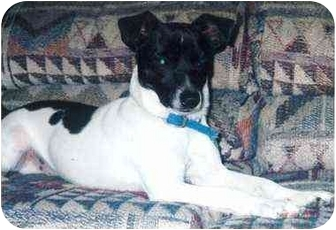 Rat Terrier/Jack Russell Terrier Mix Dog for adoption in Owatonna, Minnesota - Sparky