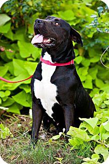 Labrador Retriever/Mastiff Mix Dog for adoption in Houston, Texas - Arielle