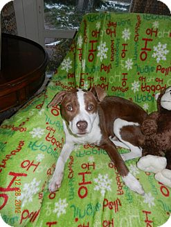 Jack Russell Terrier/Bull Terrier Mix Puppy for adoption in kennebunkport, Maine - Chance - PENDING, in Maine!