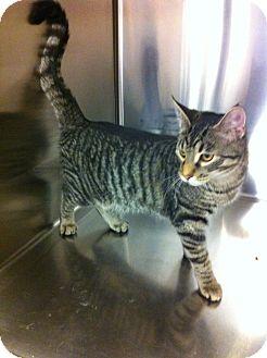 Domestic Shorthair Kitten for adoption in Pittstown, New Jersey - Bailybobo