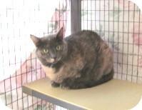 Domestic Mediumhair Cat for adoption in Phoenix, Arizona - Eloise