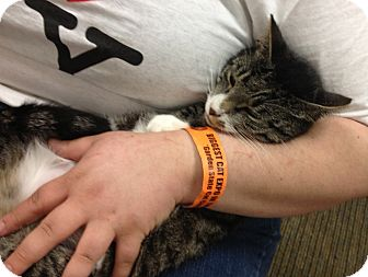 Domestic Shorthair Cat for adoption in Pittstown, New Jersey - Chiquita