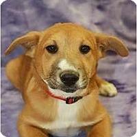 Adopt A Pet :: Blossom - Broomfield, CO