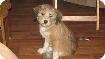 Terrier (Unknown Type, Small)/Wirehaired Fox Terrier Mix Puppy for adoption in Franklin, Virginia - Jinx