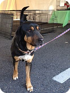 Rottweiler/Shar Pei Mix Dog for adoption in Baton Rouge, Louisiana - Boudreaux