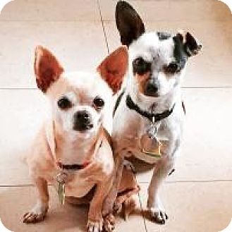 Chihuahua Mix Dog for adoption in Shawnee Mission, Kansas - Patsy and Kevin