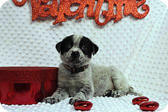 Labrador Retriever/Blue Heeler Mix Puppy for adoption in Westminster, Colorado - Evelyn