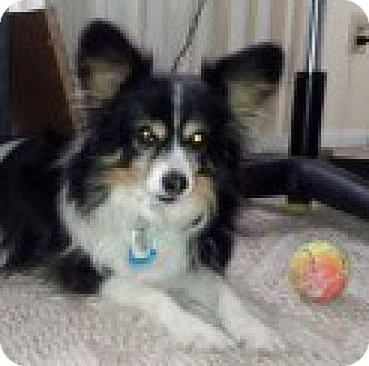 Papillon Dog for adoption in Nationwide, Maryland - Billy (in MI)