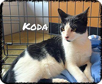 Domestic Shorthair Cat for adoption in Arcadia, California - Koda