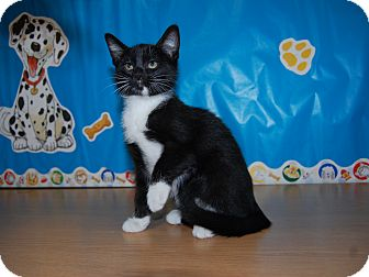 Domestic Shorthair Kitten for adoption in North Judson, Indiana - Rebecca