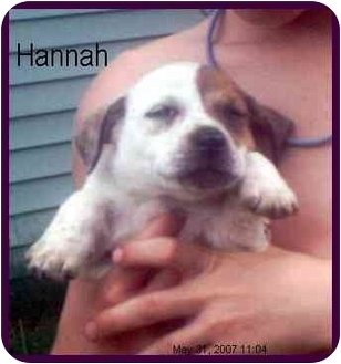 Dachshund/Australian Cattle Dog Mix Puppy for adoption in Chiefland, Florida - Hannah