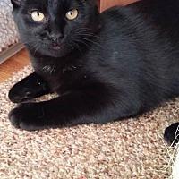 Manx Cat for adoption in Des Moines, Iowa - TRIXIE