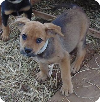 Terrier (Unknown Type, Small) Mix Puppy for adoption in Olympia, Washington - Guinevere